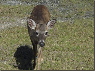 baby Key Deer of Big Pine Key