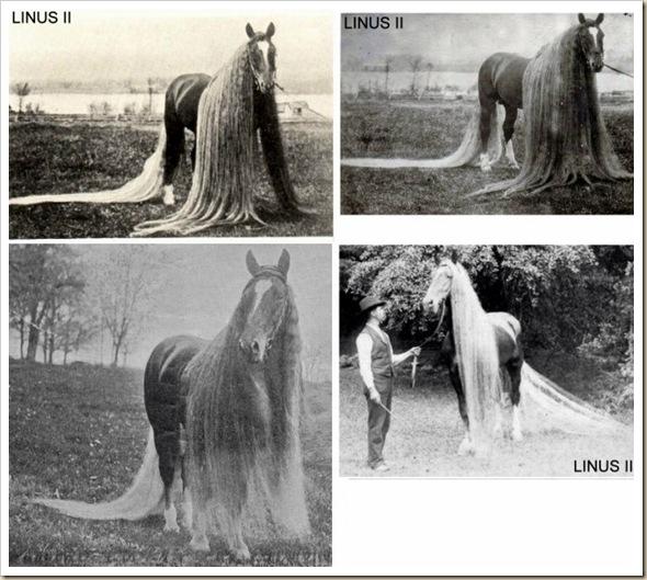 Linus le cheval aux crins les plus long du monde (3)