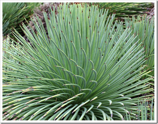 121228_UCBotGarden_Agave-stricta_03