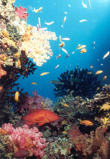 Great Barrier Reef Coral Trout and coral garden.jpg