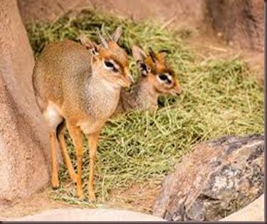 Amazing Pictures of Animals photo Nature, exotic, funny, incredibel Zoo, Dik-dik, antelope. Alex (13)