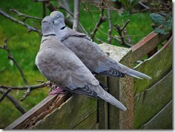 collared doves Feb 2014 (2)