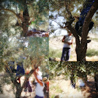 some olive harvest photos 001