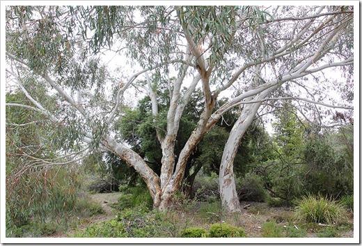 111015_Santa-Cruz_UCSCA_Eucalyptus-pauciflora_08