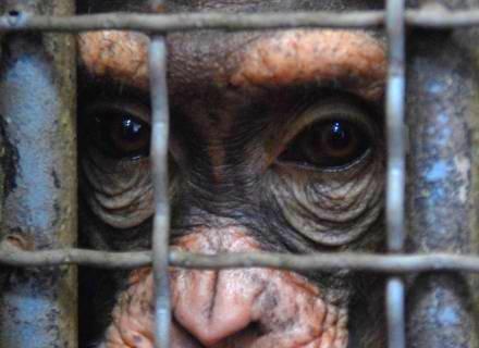 Laboratorios-de-pesquisas-deixarao-de-usar-chimpanzes