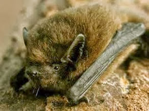 Amazing Pictures of Animals, Photo, Nature, Incredibel, Funny, Zoo, Common pipistrelle, Mammals, Alex (5)