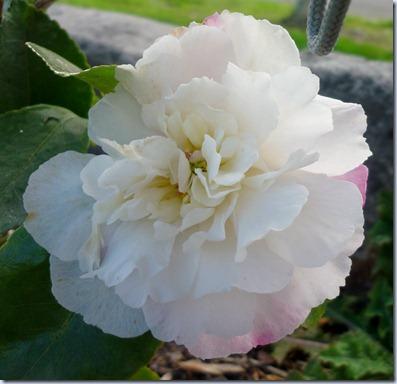 flowers - camellia