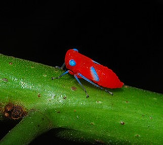 Amazing Pictures of Animals, photo, Nature, exotic, funny, incredibel, Zoo, Leafhopper, Insecta, Alex (10)