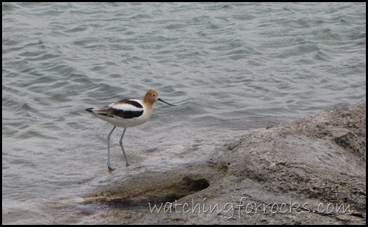 IMG_1684 AmericanAvocet OnFishingCone 