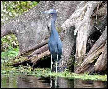 08 - Animals - Little Blue Heron 2