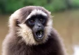 Amazing Pictures of Animals, Photo, Nature, Incredibel, Funny, Zoo, Gibbons, Hylobatidae, Primate, Mammals, Alex (2)