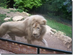 2004.08.25-064 lion blanc