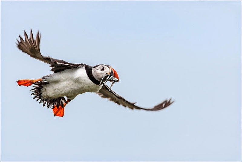 Farne Island Puffin with eels