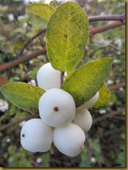 IMG_2322 Snowberries