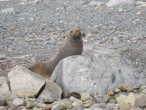 One of the island's inquisitive Fur Seals.