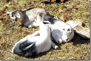 Cedars of Lebanon Goat Farm in CT