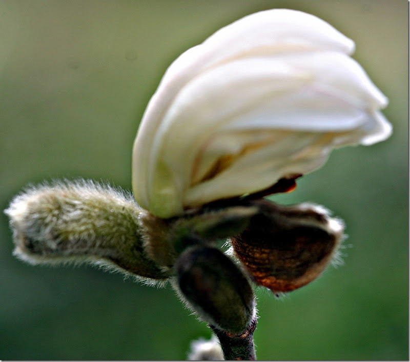 Magnolia stellata 0705