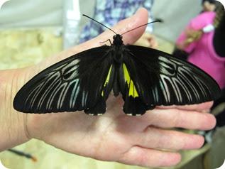бабочки 032