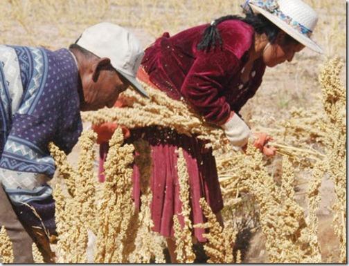 SEMBRADÍOS. Dos campesinos productores de quinua inician la cosecha en el departamento de Oruro. - Gregory Beltrán La Prensa