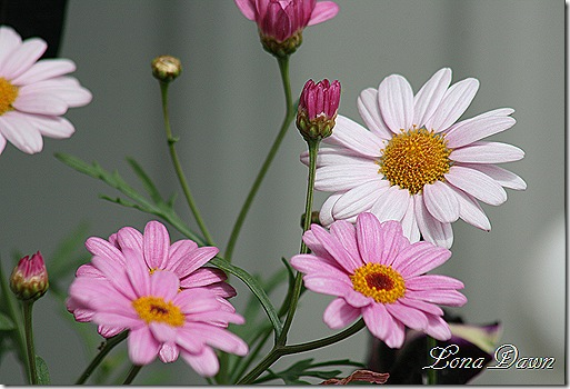 Pink_Argyranthemum_May26