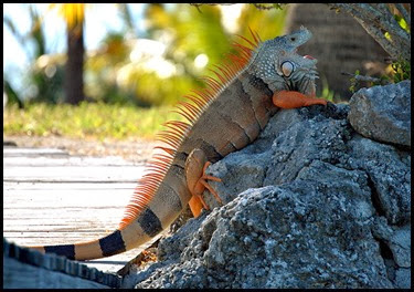 17a - iguana - that's close enough