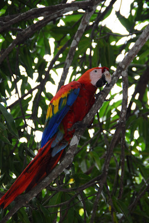 Papagali Costa Rica: Scarlet Macaw, papagal in padurea tropicala