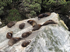 Milford Sound- seals