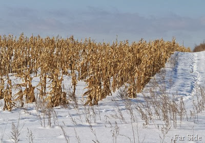 Corn Field Trails