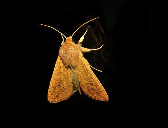 Noctuidae : Hadeninae : Mythimna formosana BUTLER, 1880. Umina Beach (NSW, Australie), 22 avril 2011. Photo : Barbara Kedzierski