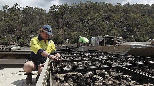 Fourth-generation oyster farmer Rob Moxham inspects oysters killed the virus that causes Pacific oyster mortality syndrome, which has destroyed about 90 per cent of the oysters in a 50-hectare area in Australia, 24 January 2013. Photo: Sahlan Hayes / Sydney Morning Herald