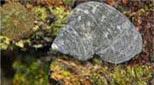 Polynésie escargot de mer