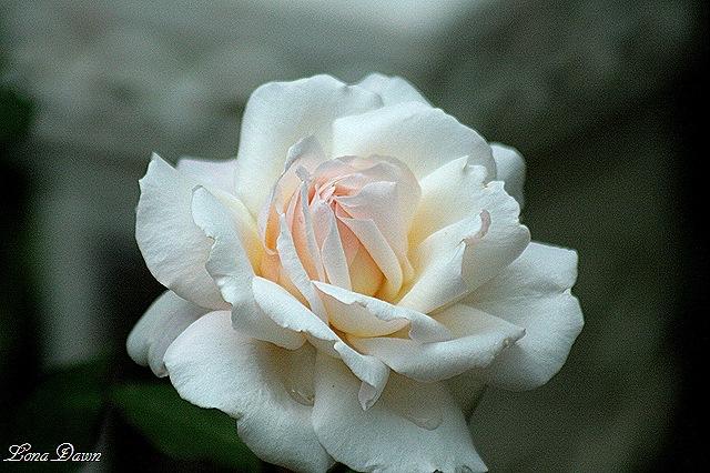 [Rose_Gruss_An_Aachen5%255B9%255D.jpg]