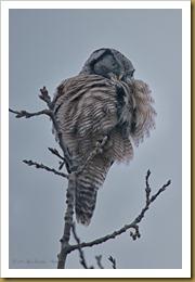 Northern Hawk Owl - fluff  ROT_2439