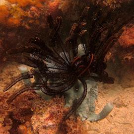 Crinoid's Perch by DJ Cockburn - Animals Sea Creatures ( indian ocean, coral, zanzibar, crinoid, sponge, reef, feather star, blue, tanzania )