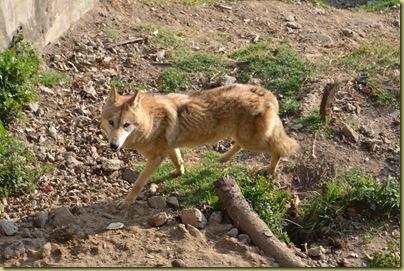 ZP Himalayan Wolf