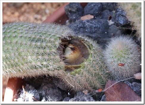 120217_Cleistocactus-straussii_02