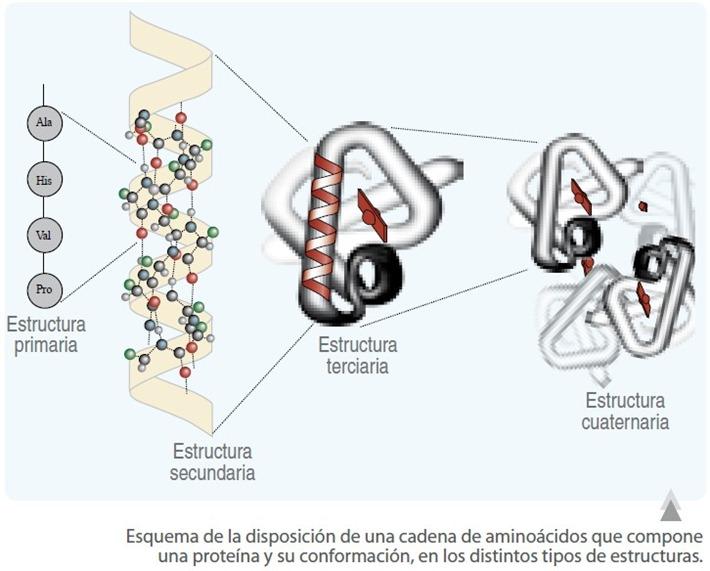 estructura cuaternaria proteinas