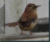 carolina wren bath (5)