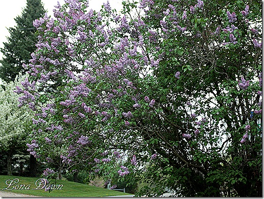 Lilacs_Of_Spring2