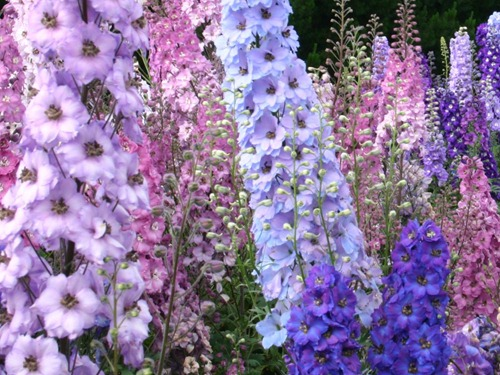 Delphinium_mixedDelphLarge[1]