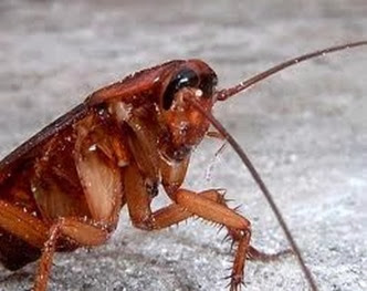 Amazing Pictures of Animals,Photo, Nature, Incredibel, Funny, Zoo, Cockroaches,Blattaria or Blattodea, Insecta, Alex (5)