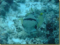 Large Puffer 1