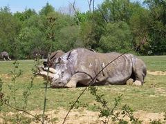 2008.04.26-003 rhinocéros