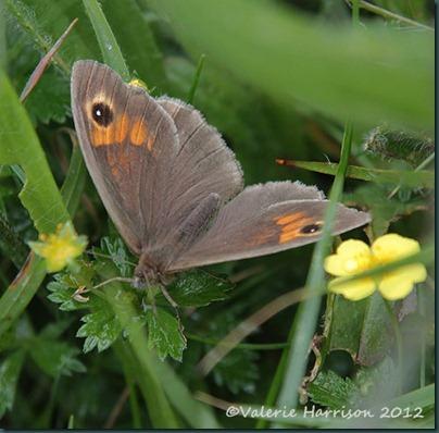 36-Meadow-Brown