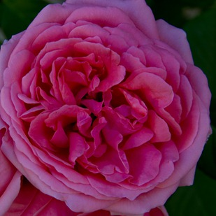 rose-loches3