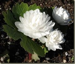 bloodroot double flowering