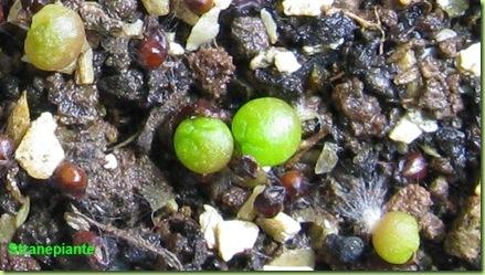 semina frailea grahliana ssp grahliana