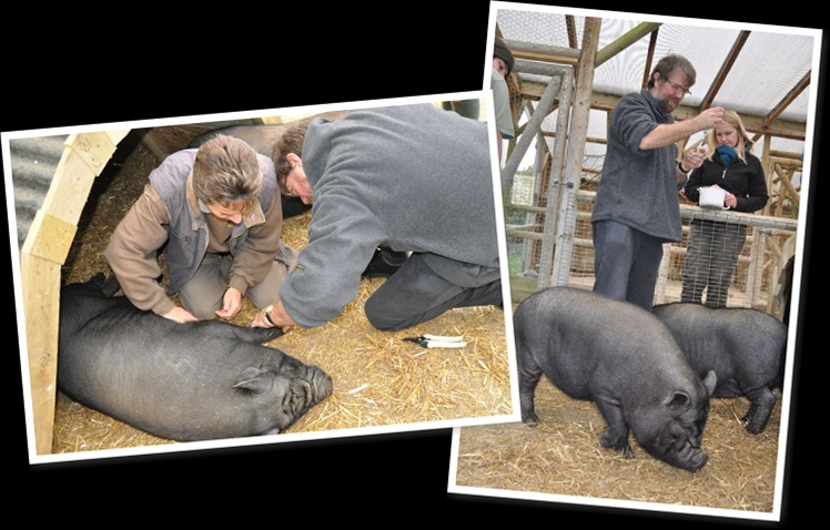 View Pig hooves and worming