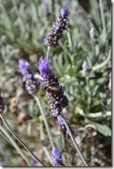 Lavendar flower with bee