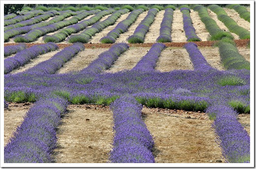 110710_Mt_Shasta_Lavender_Farm_69